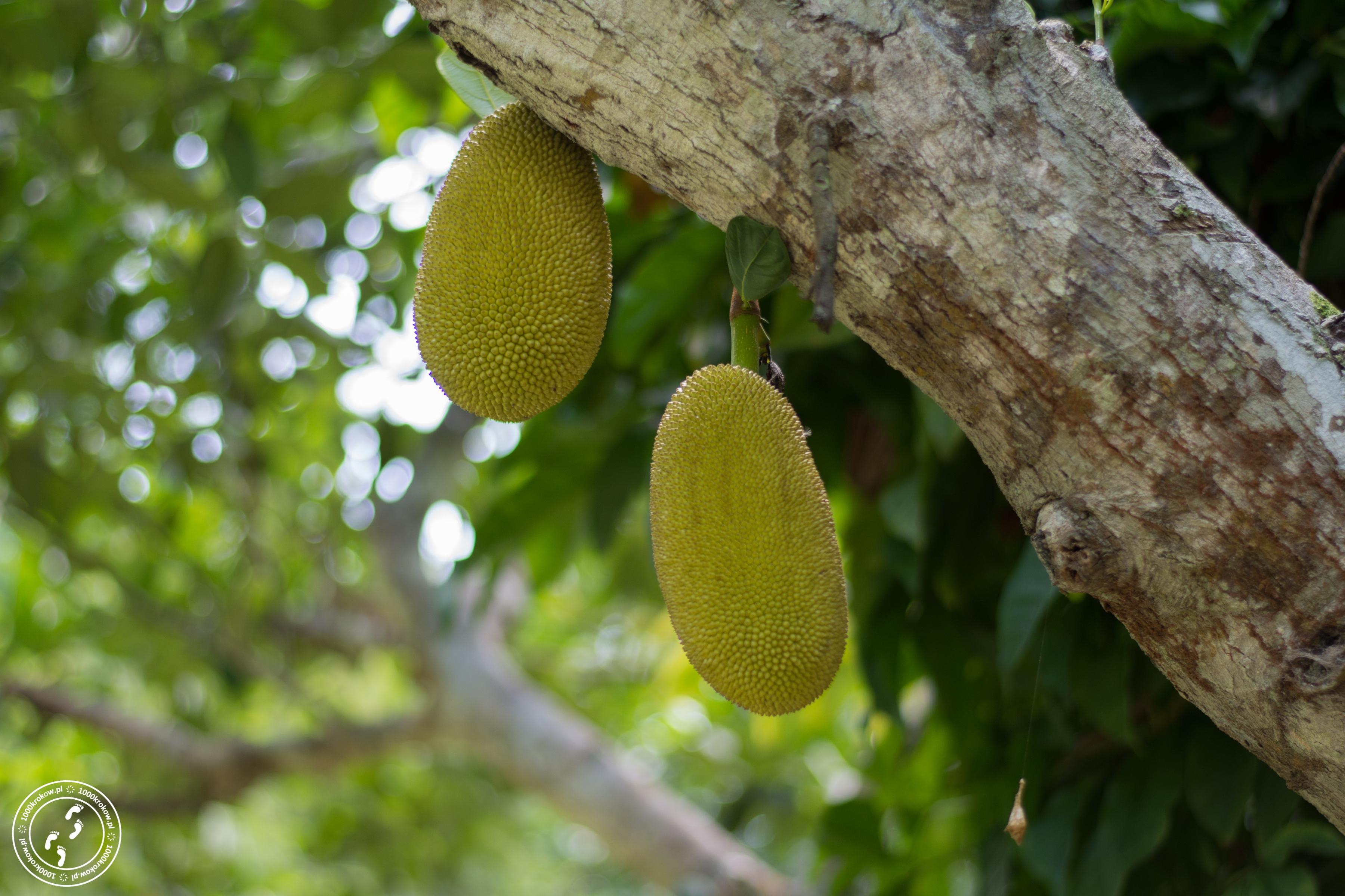 Jackfruit - owoce drzewa bochenkowego.