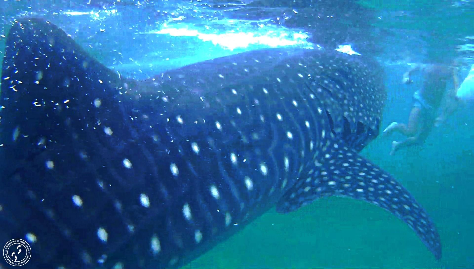 Oslob rekin wielorybi snurkowanie