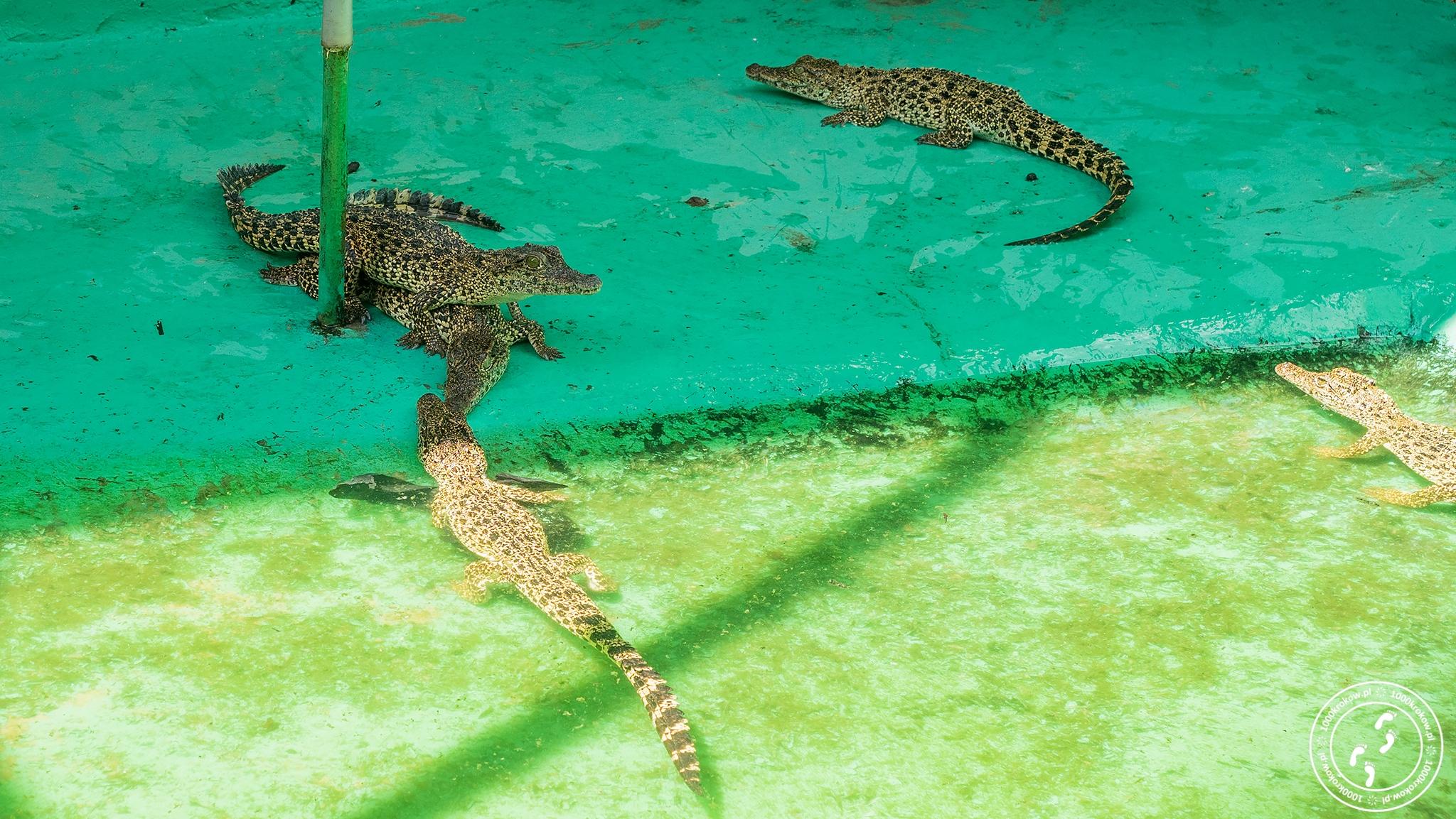 Criadero de Crocodiles